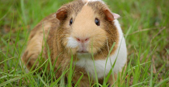 guinea pig cavy pet guinea 60693