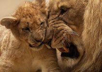 Copenhagen Zoo kills 4 lions, weeks after shooting giraffe