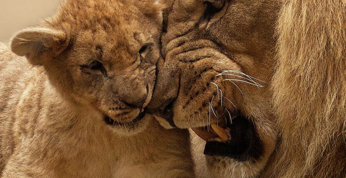 lion animal predator big cat 40803