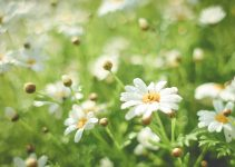 summer daisy field picjumbo com