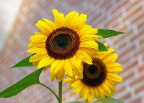 sunflower flowers bright yellow 46216