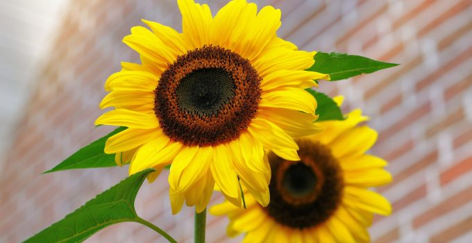 sunflower flowers bright yellow 46216